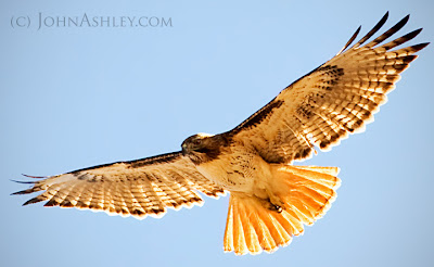 Red-tailed Hawk (c) John Ashley
