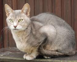 Blue Abyssinian Cat for sale