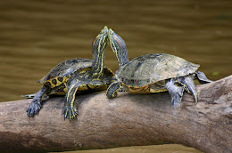 CORNER'S TURTLES