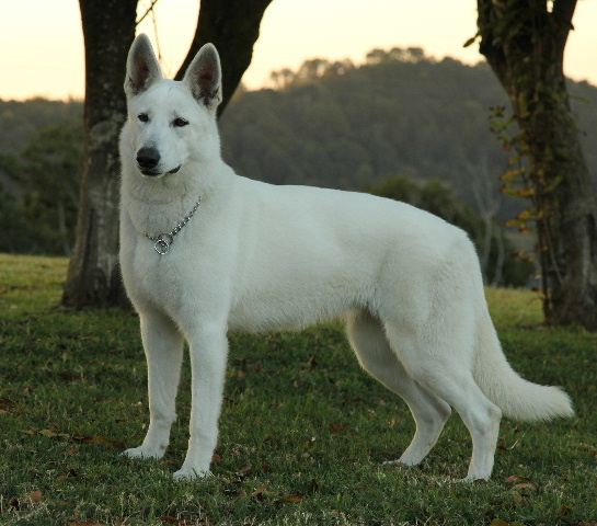 berger blanc swiss white swiss shepherd breed photo dog breeds