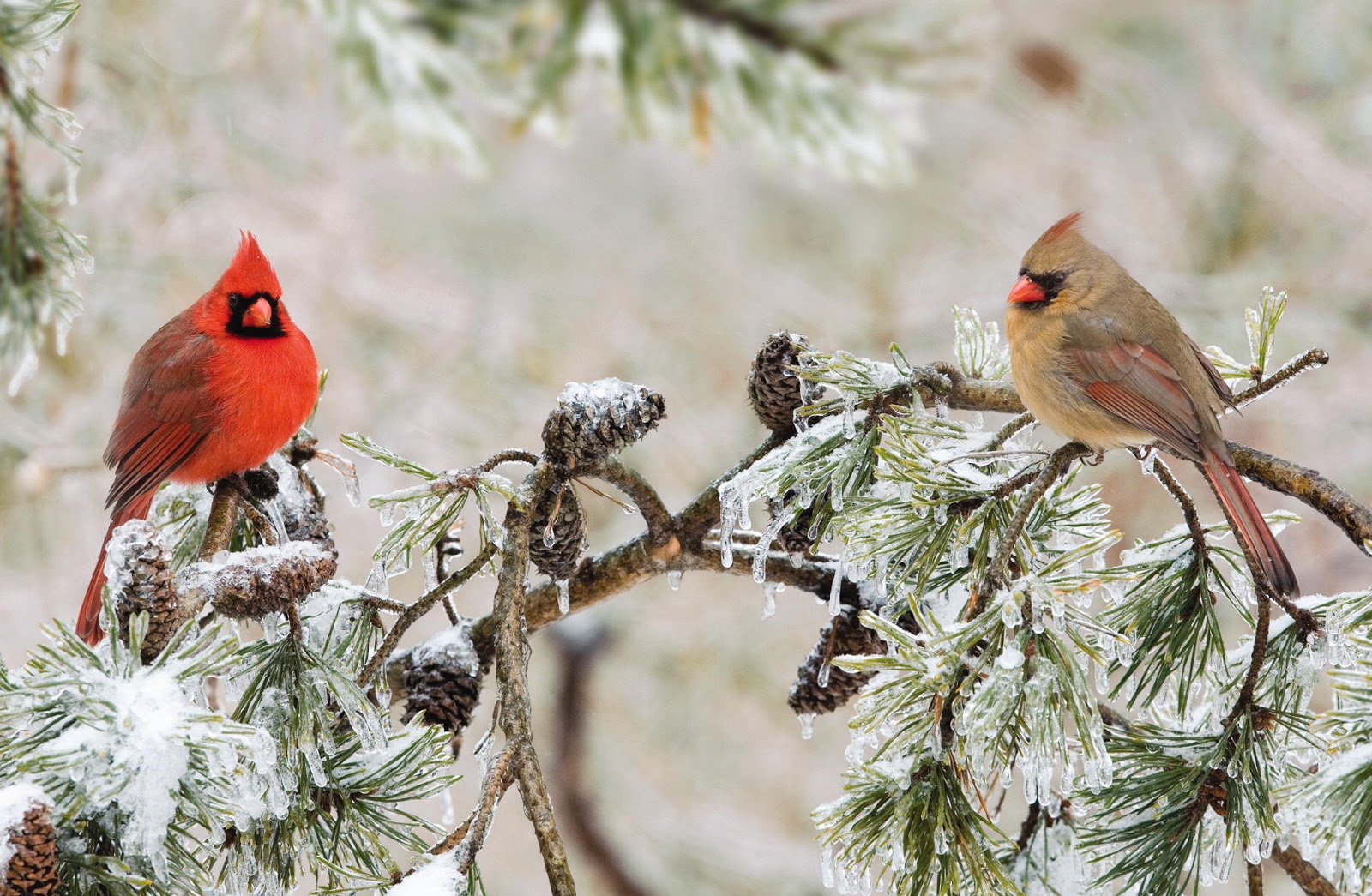 Wild Birds Unlimited: Northern Cardinal Mating Rituals
