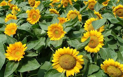 Beautiful Sunflower Widescreen Wallpaper 2