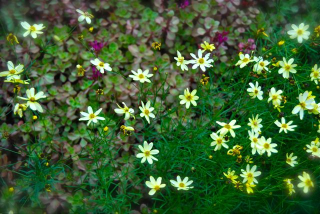 Coreopsis 'Moonbeam' and Sedum 'Red Carpet' are thriving in this extremely low maintenance garden by a walkway.