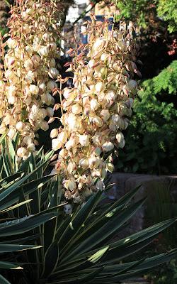 Yucca gloriosa 'Variegata' spikes