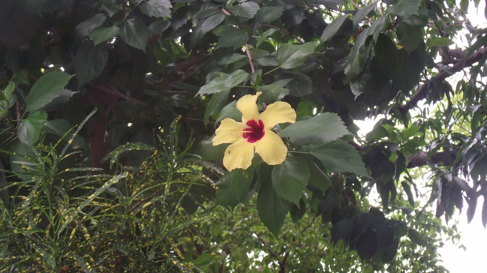 Jardins Maravilhosos Hibiscus Uma Flor Ex Tica Tropical Linda Image~ Fotos Jardins Maravilhosos