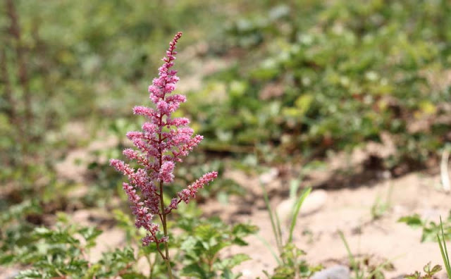Astilbe Flowers Pictures