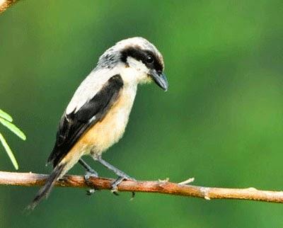 Foto Burung Cendet Terbaik