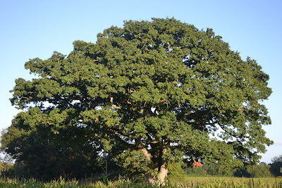 oak tree summer