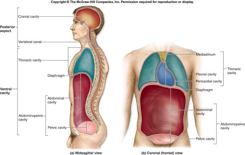 Desarrollo De Las Cavidades Corporales in addition Body planes additionally Peritoneum Slides moreover 4923575 besides Organs Of Abdominal Cavity. on abdominopelvic cavity
