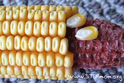 Photograph of Seed Corn