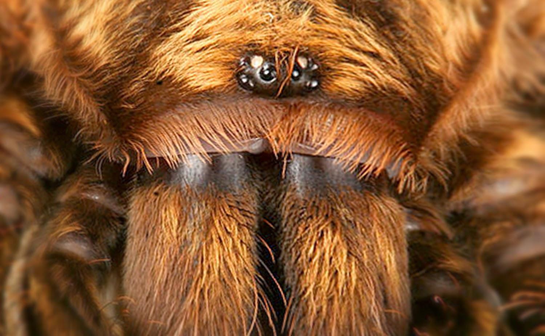 Tarantula Setengah Matang