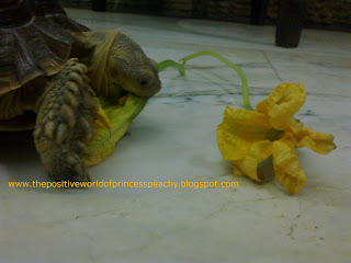 geochelone,sulcata,tortoise,cute sulcata eating,cute tortoise eating,sulcata eating flowers,tortoise eating flowers,sulcata diet,tortoise diet,tortoise caresheet,Philippines,Malaysia,Japan,Vietnam,United States,US,United Kingdom,UK,Russia,Germany,Greece,cute pet,happy tortoise,funny tortoise,funny sulcata,funny turtle,cute sulcata,cute tortoise,sulcata proper diet,blogspot,blogspot.com,Tortoise Trust