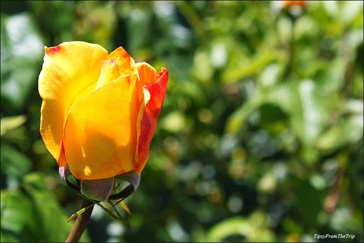 Rose Garden, San Jose, CA