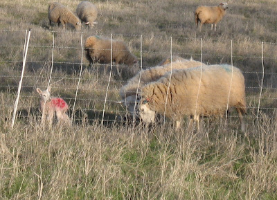2013 Lambing Notebook – Installment #2