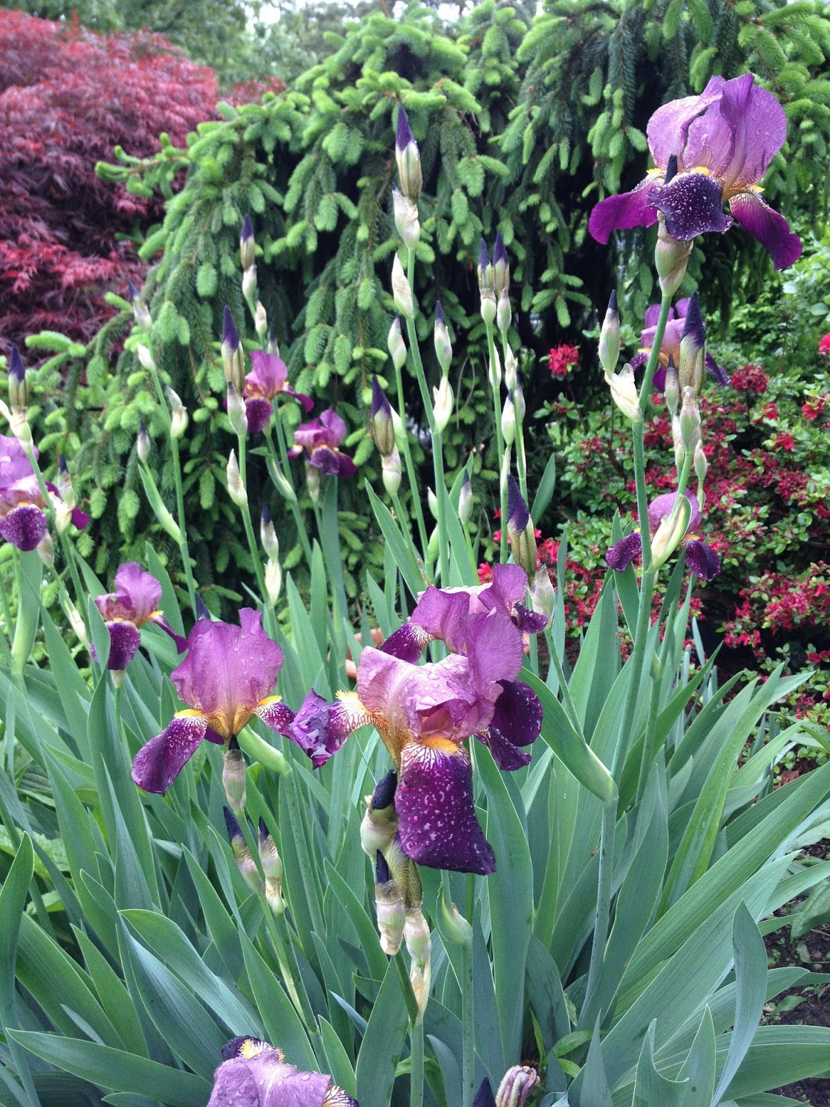 Gardening and gardens iris bearded siberian and japanese bearded iris in my port washington ny garden izmirmasajfo Choice Image