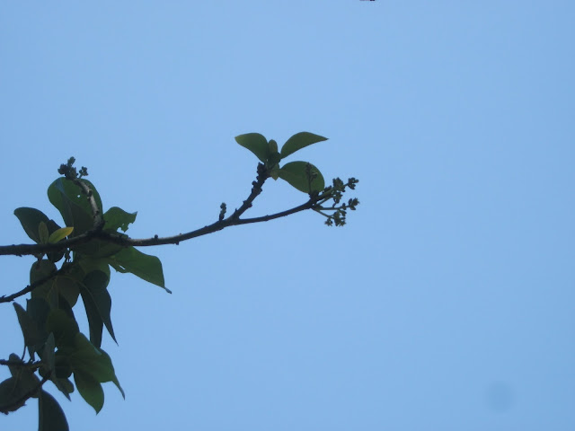 munculnya bunga alpukad pertama