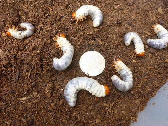幼虫は1匹も減っておらず、全て元気でした。幼虫の大きさは個体差があり、大きいものは小さいものの3倍くらいの大きさです。500円玉と比べるとよくわかりますが、