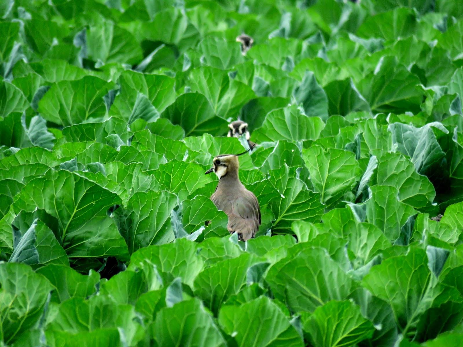 自然教室-小辮鴴再訪雲林元長 無毒農法提供充足及安全的食物