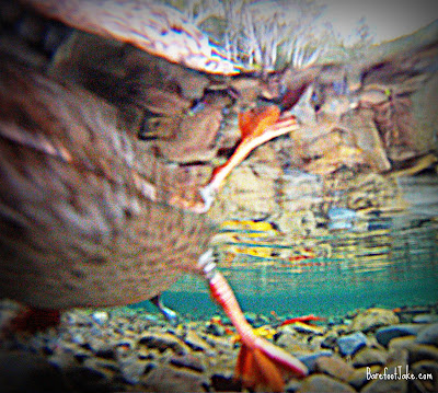 lake crescent duck