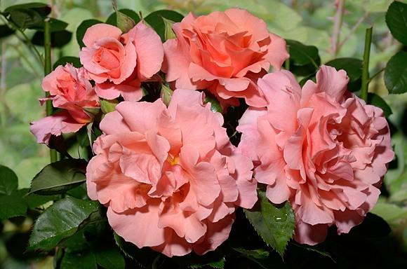 Alibaba rose сорт розы купить фото