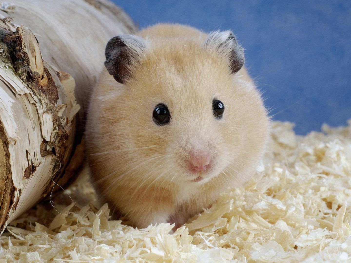 hampster pet