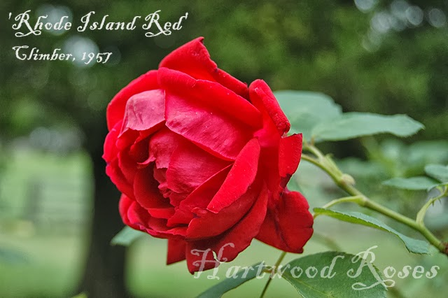 foto de Hartwood Roses: Foggy Flowers on Friday and an Invitation