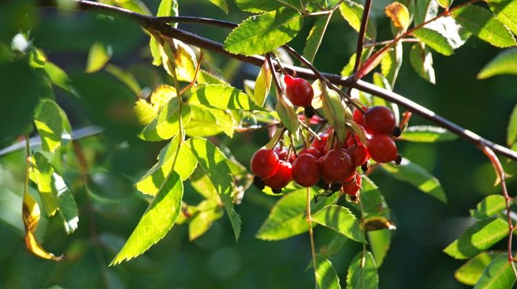 Smukke røde bær i efterårshaven