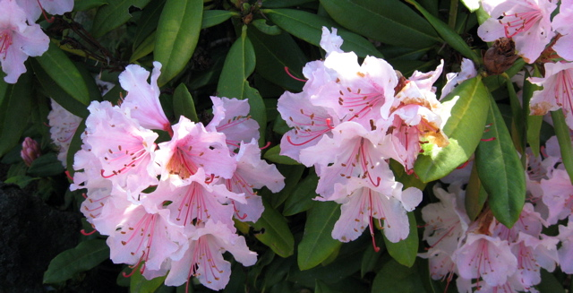 Seattle Garden Ideas: Rhododendrons That Don't Get Over 4 Feet Tall