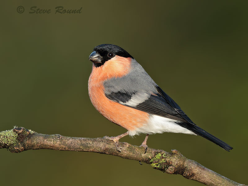 Bullfinch, bird, finch, male