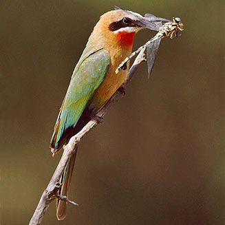 abejaruco frentiblanco Merops bullockoides