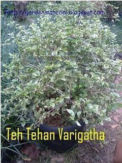 tanaman teh tehan varigata