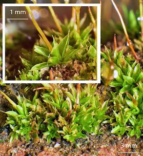 foto del musgo Tortula marginata de la familia Pottiaceae en un muro de hormigon