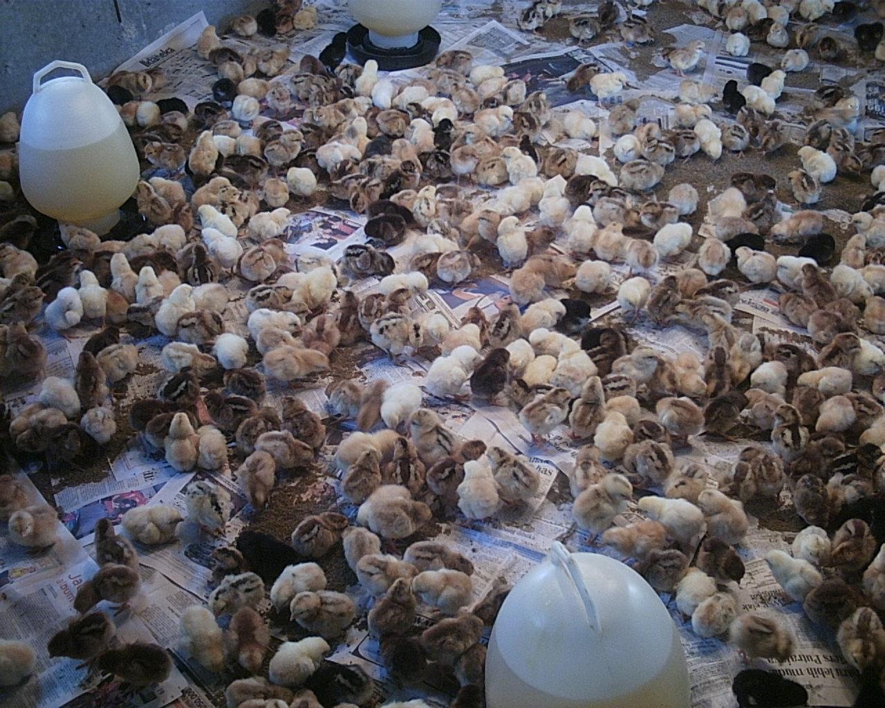 DUNIA PETERNAKAN: Memilih Bibit Ayam Petelur yang Baik