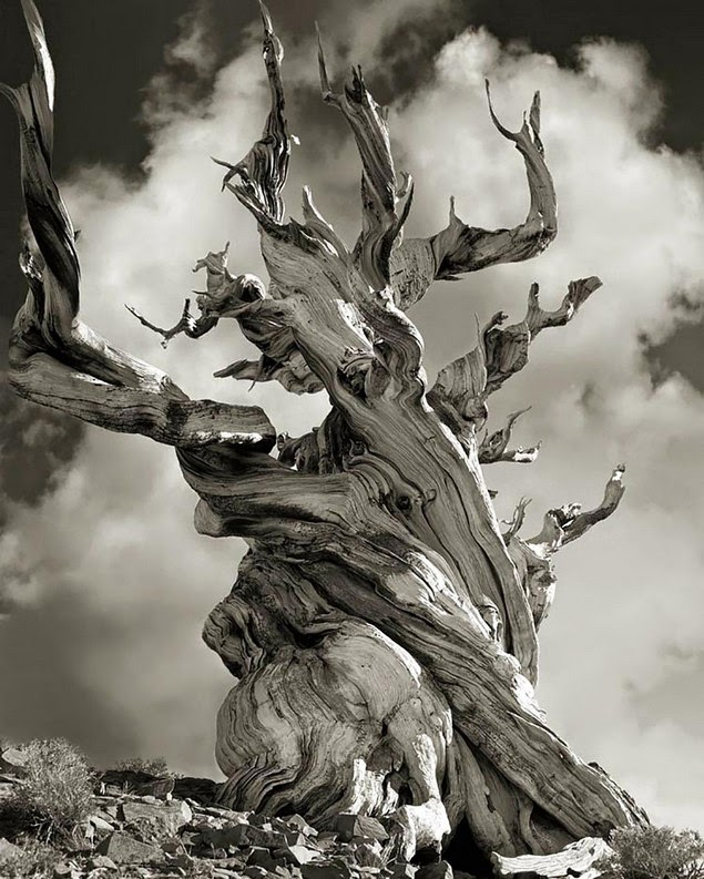 beth moon oldest living trees-14