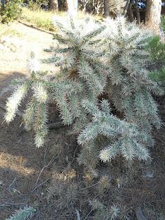planta invasora Cylindropuntia tunicata