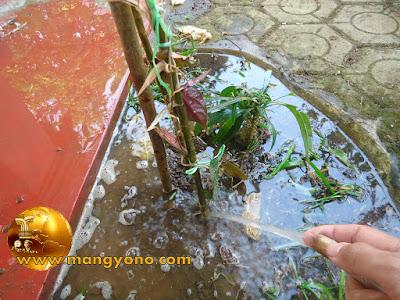 FOTO 5 : Penyiraman tanaman cangkokan sirih merah yang baru ditanam