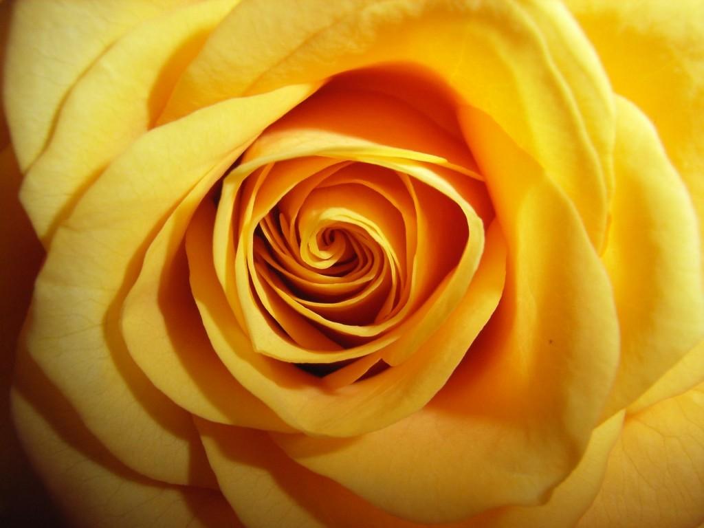 jardim rosas amarelas : jardim rosas amarelas:Foto De Rosa Amare La