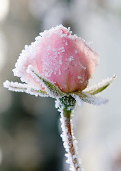 Ice Rose