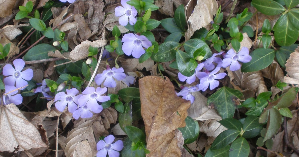 Di fiore in fiore pervinca for Pervinca pianta
