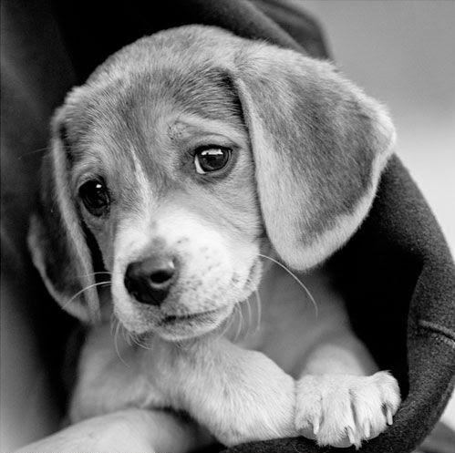 Baby Beagle  Adorable  cute doggy