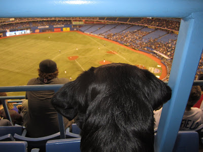 Just like yesterday's picture, this is a picture of the back of black lab puppy Romero's head as he watches the baseball game. Only this time - we're AT the stadium. We are sitting in the 18th row of the upper deck, so Romero is looking way down at the field. The railings and seats are all blue, and the stands look to be about half full. The row right in front of Romero is pretty empty, so he has a nice clear view. The field is pretty blurry, but you can see that the Blue Jays are on the field in their black jerseys and white pants.