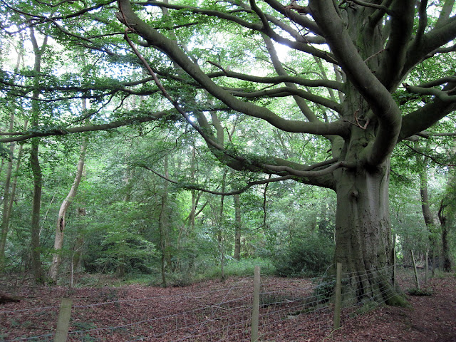An old beech tree, Fagus sylvatica,  in the woods east of Cudham.  Ups and Downs walk led by Ewa Prokop, 21 June 2011.