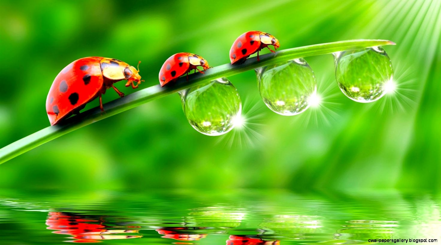 Three ladybugs on green leaves drops of water Wallpaper