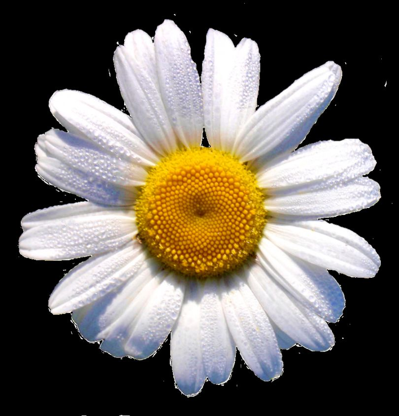 white daisy  this would look grrr88 in a    transparencyhoe