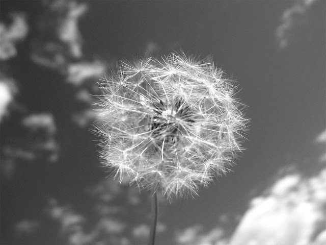 Dandelion and Sky Black and White Wallpaper hd