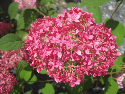 ruby red hortensia