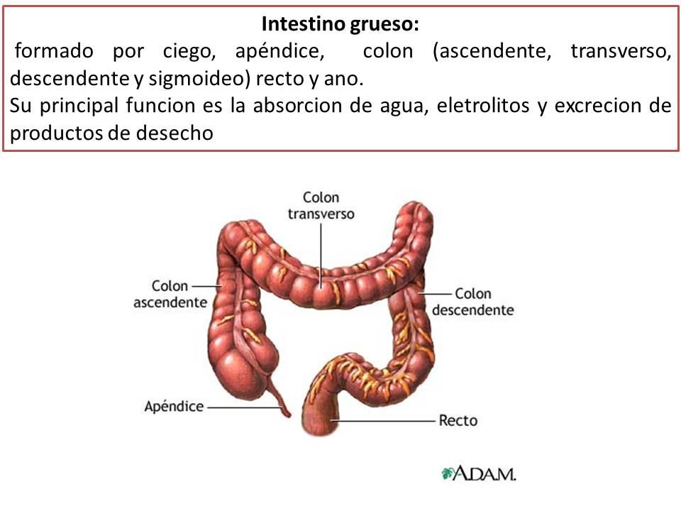 Tubo Digestivo Anatomia e Histologia | Fisiología Médica