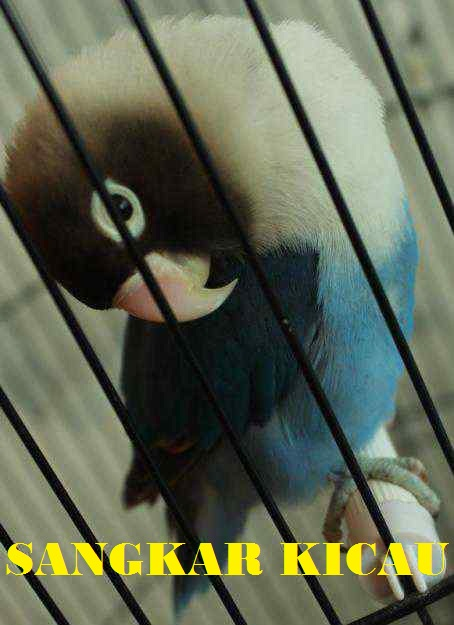 sangkar kicau lovebird dakocan biru