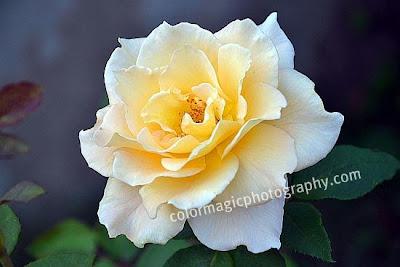 Pale yellow Brose