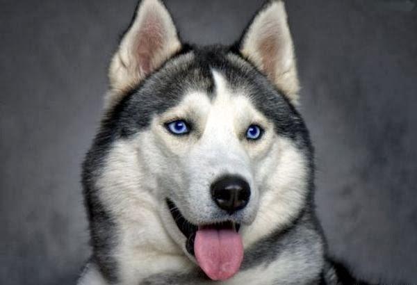 Pomsky With Blue Eyes Pomeranian husky (pomsky)